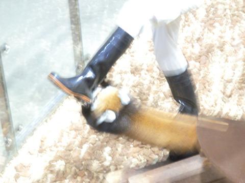 飼育員さんの長靴を噛むレッサーパンダ@日本平動物園