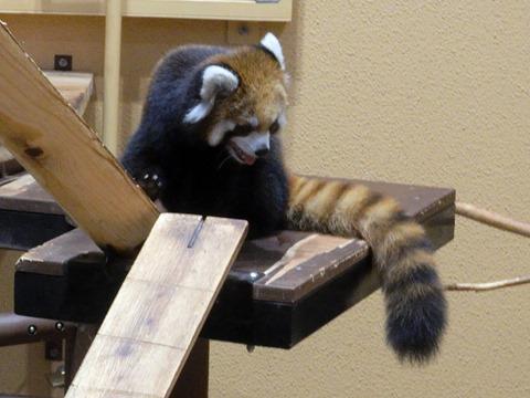 動き回るレッサーパンダ@日本平動物園