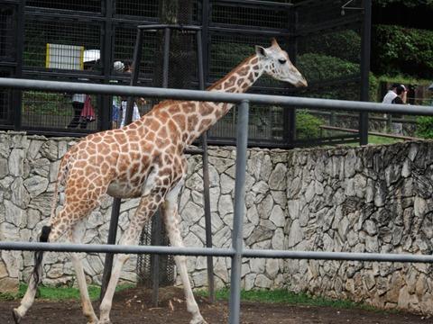 キリンのサクラさん♀@日本平動物園