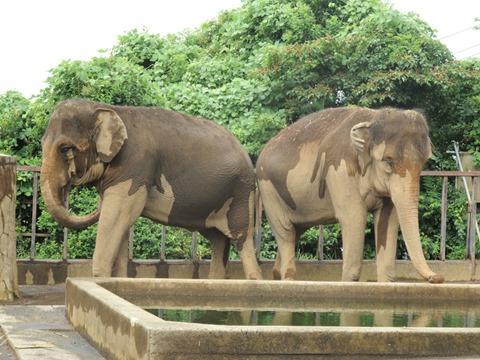 アジアゾウのダンボさん♀とシャンティさん♀@日本平動物園