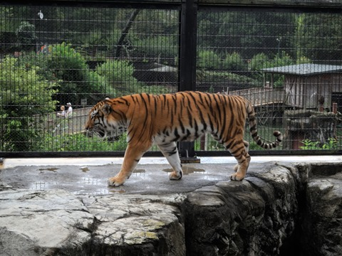 うろつくアムールトラ@日本平動物園