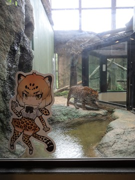 うろつくジャガー@日本平動物園