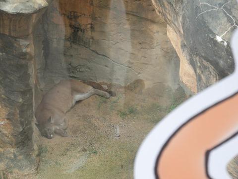 ピューマはここ@日本平動物園