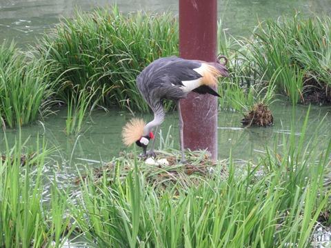 卵を気にするホオジロカンムリヅル@日本平動物園