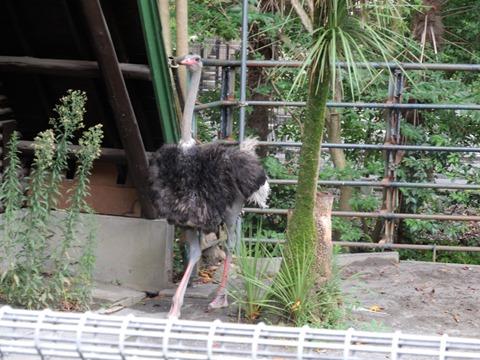 駈け寄ってきてくれるダチョウのクランキーさん@日本平動物園