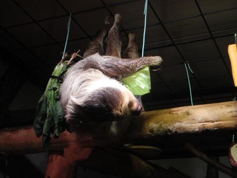 食事中のフタユビナマケモノ@日本平動物園