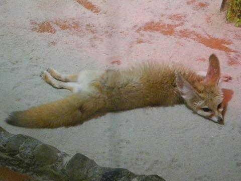 電池切れのフェネック@日本平動物園