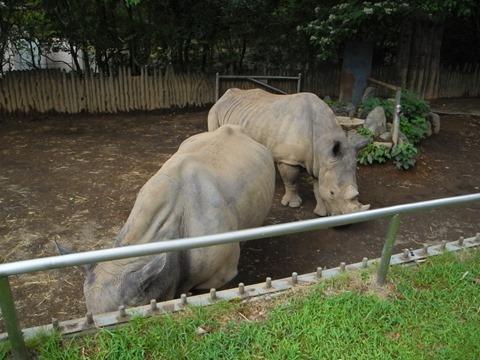 シロサイのサイコ♀さんとタロウ♂さん@日本平動物園