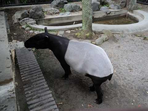 マレーバクのフタバ♂さん@日本平動物園