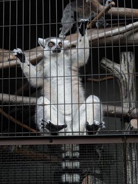 写りたがりなワオキツネザル@日本平動物園