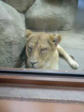 もの言いたげなライオン♀@日本平動物園
