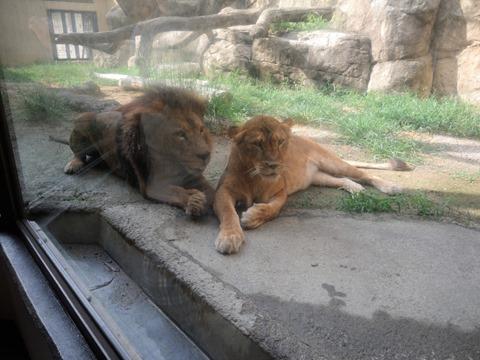 イチャイチャしてるライオンカップル@日本平動物園