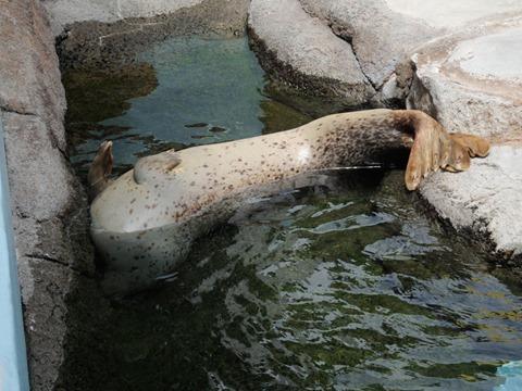 座礁しているゴマフアザラシ@日本平動物園