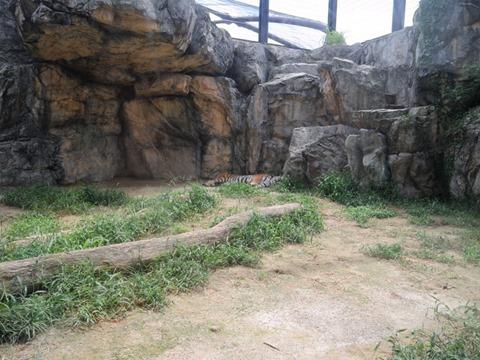 トラ@日本平動物園