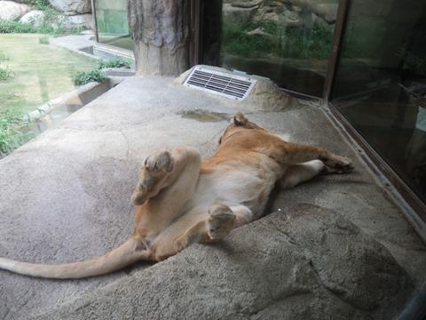 ライオン@日本平動物園