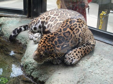 ジャガーさん@日本平動物園