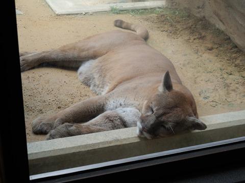 ピューマ@日本平動物園