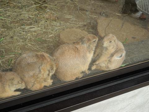 プレーリードッグ@日本平動物園