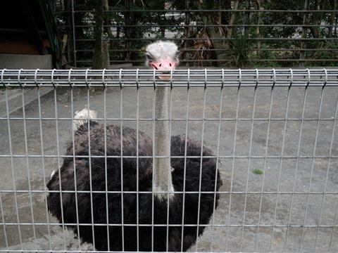 ダチョウ@日本平動物園