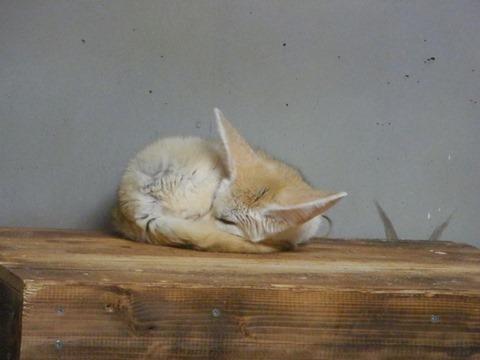 まんまる熟睡フェネック