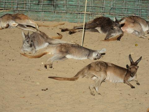 集団で砂に寝そべるカンガルーの皆さん
