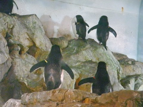 ミナミイワトビペンギン(尻)