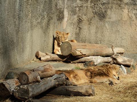 お昼寝ライオン夫婦
